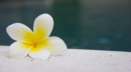 kamboja: Frangipani