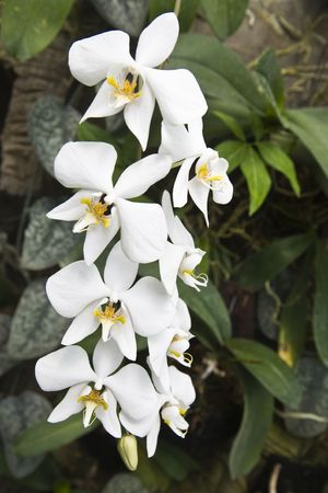 Phalaenopsis amabilis Stock Photo - 3495907