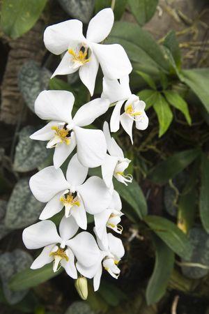 kamboja: Phalaenopsis amabilis