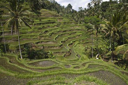 Bali ricefield Stock Photo - 3556278