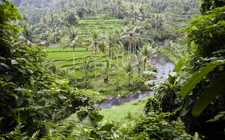 Bali ricefield Stock Photo - 3576209