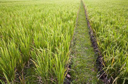 Bali ricefield photo