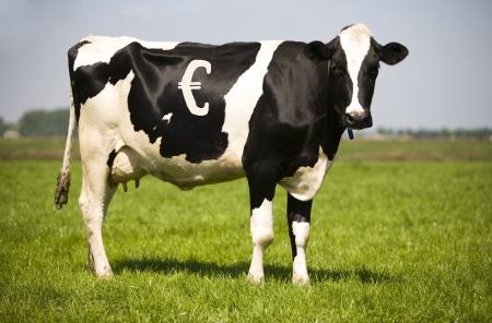 Cash cow photo