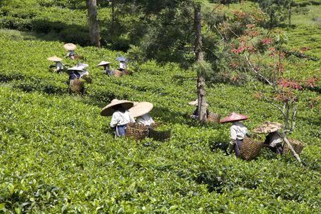 plantar: Tea pickers  Stock Photo