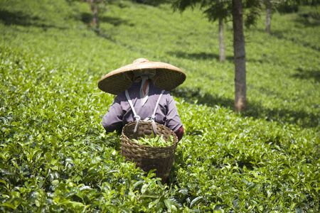 Tea picker photo