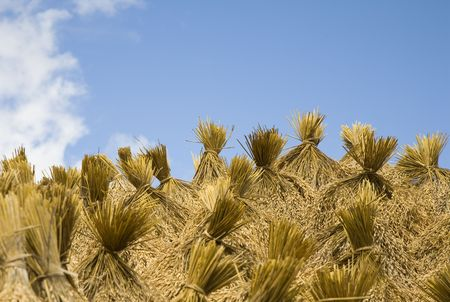 rice paddy: Rice harvest  Stock Photo
