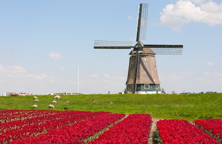Tulips and windmill Stock Photo - 9471596