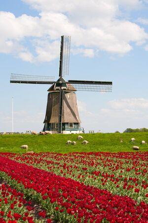 berkmeer: Tulips and windmill Stock Photo