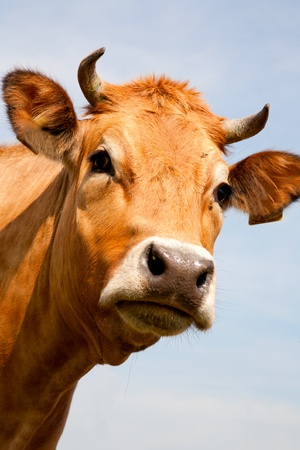 beef cattle: Dutch cow