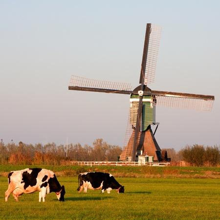 dairy farm: Traditional Dutch windmill