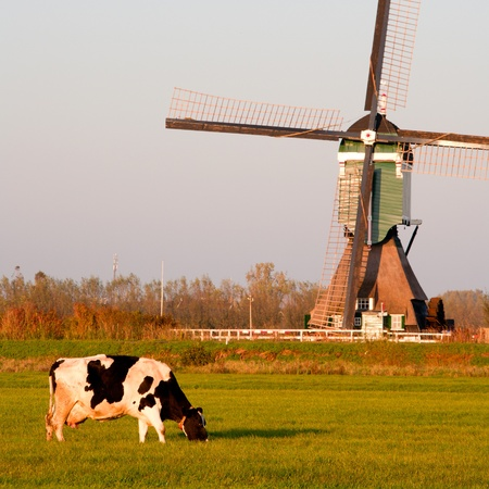 beef cattle: Traditional Dutch windmill