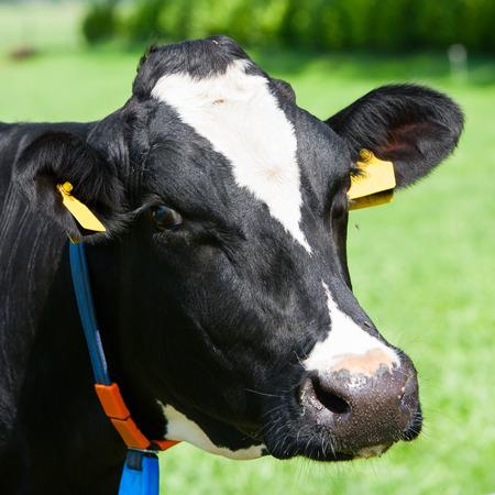 Dutch cow photo