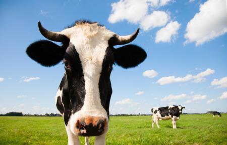 Nederlandse koe Stockfoto