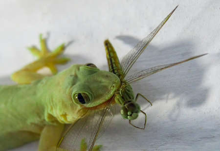 lizzard: The lizzard (gecko) just caught a flying dragonfly.