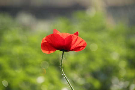 war decoration: Poppy flower