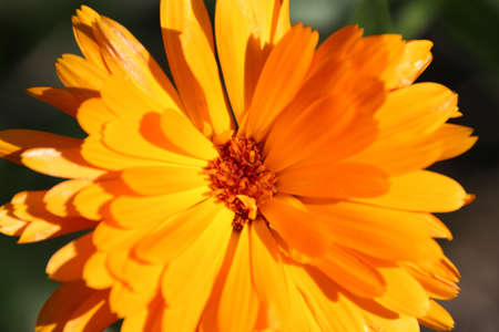 Orange Tagetes photo
