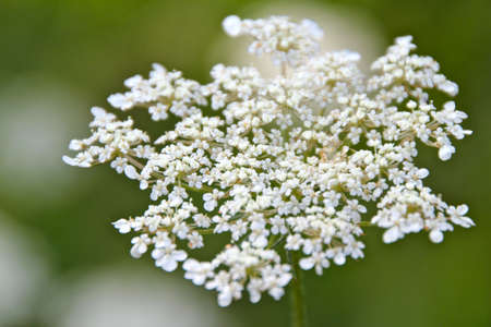 ice queen: Cow Parsley Closeup