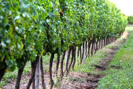 portugal agriculture: Vineyard Stock Photo
