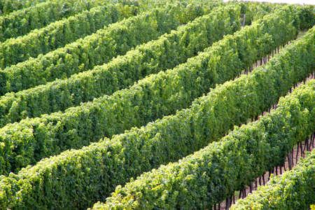 chianti: Vineyard Stock Photo