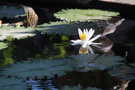 Witte Lotus Flower