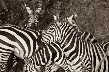 watchful: Wild Zebra B&W Stock Photo