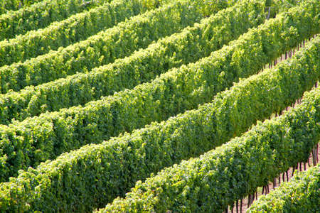 Wijngaard en druiven in het zuiden van Frankrijk Stockfoto