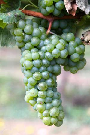 Wijngaard en druiven in het zuiden van Frankrijk Stock Photo