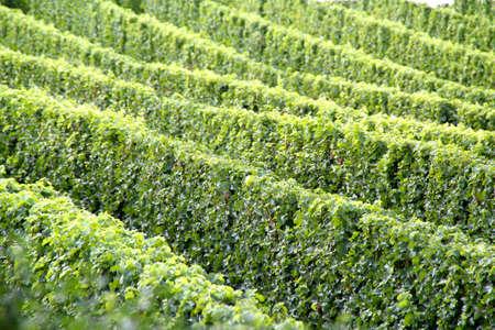 Vigne et raisins dans le sud de la France Banque d'images