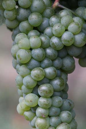 Wijngaard en Druiven in het zuiden van Frankrijk