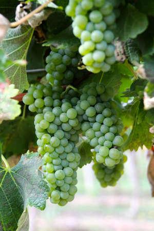 Vignoble et raisins dans le Sud de la France