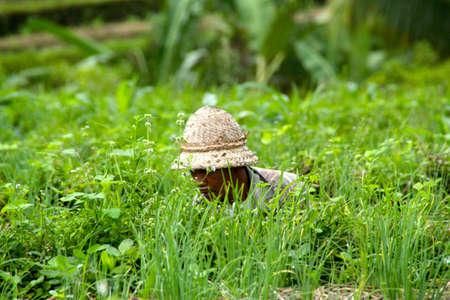 SERIRIT, INDONESIË - juli 2012: Een rijst veldwerker gaat zitten tussen het gras om slechte onkruid te verwijderen. 14 juli 2012 in Seririt, Indonesië