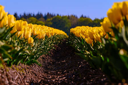 Row of yellow tulips with usharp trees in the background Фото со стока