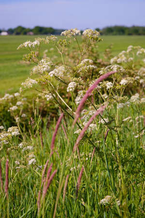 White cow parsley flowers in front of dutch grass landscape with meadows, selective focus