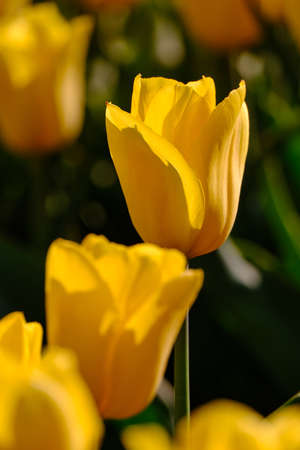 Selective focus close-up of yellow tulips with dark background in a field in the Netherlands, Holland 版權商用圖片