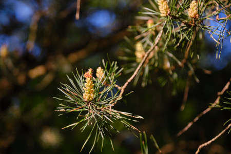 Young fresh pine cones on a branch in the morning sun and green pine needles on dark background.