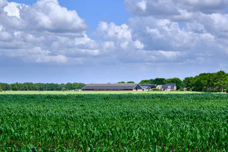 A Dutch livestock farm and living house on foreground a green corn field and grass farmland with white clouds on a blue sky