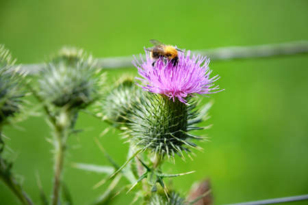 Blooming thistle with a bumblebee, Bombus,full of pollen. Neonicotinoid pesticides represent a risk to wild bees and honeybees, Netherlands, EU