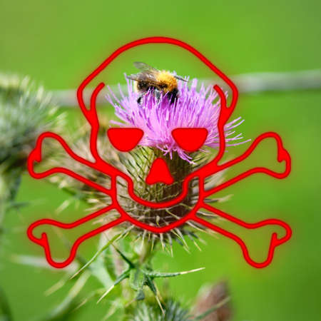 Skull hazard symbol overlay blooming thistle with a bumblebee, Bombus,full of pollen. Pesticides risk to wild bees and honeybees, Netherlands, EU