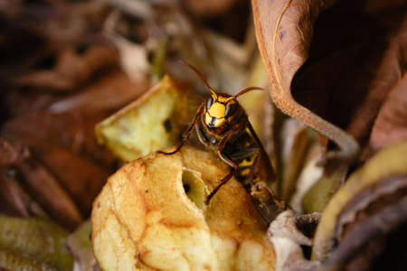 Close up of an European hornet, Vespa crabro. Horse wasp on a old apple in a compost heap. Hornet is increasingly common in the Netherlands.