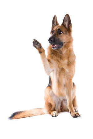 perros jugando: perro pastor alem�n aisladas sobre fondo blanco