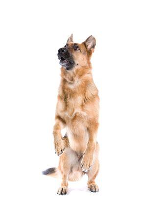 german shepherd dog isolated on a white background Stock Photo - 5022492
