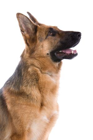 german shepherd dog isolated on a white background photo