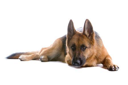 german shepherd dog isolated on a white background Stock Photo - 5022494