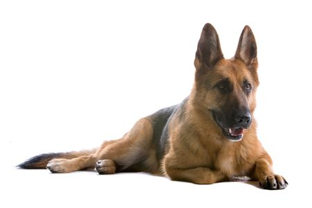 german shepherd dog isolated on a white background Stock Photo - 5022488