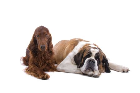 irish red setter and saint bernard dog isolated on a white background photo