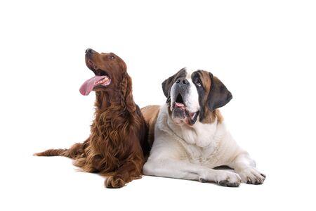 saint bernard: cane di Saint bernard e setter irlandese si conficca fuori la lingua  Archivio Fotografico