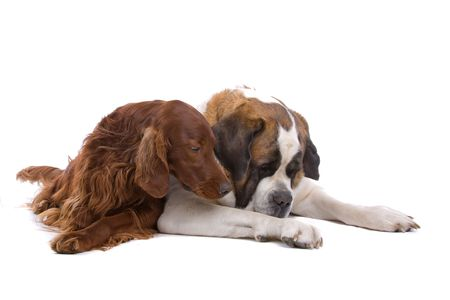 red irish setter and saint bernard dog isolated on a white background photo