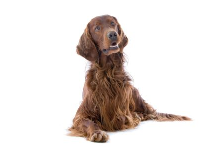 front view of an irish setter dog resting Stock Photo - 7077558