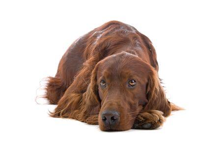 sad irish setter resting on the floor Stock Photo - 7077557