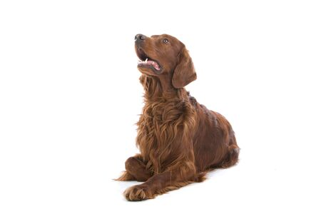irish setter lying and looking up photo
